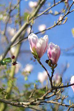 Frühlings-Malvenblüten von Marianna Pobedimova