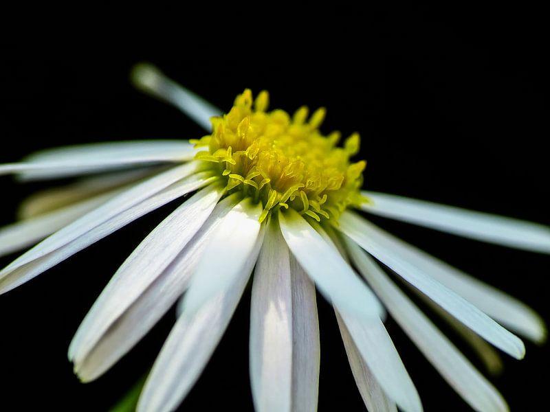 Daisy - Gänseblümchen van brava64 - Gabi Hampe