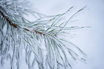 denneboom in de winter van Karijn   Fine art Natuur en Reis Fotografie