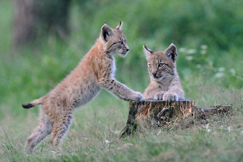verspielt... Eurasischer Luchs *Lynx lynx* van wunderbare Erde