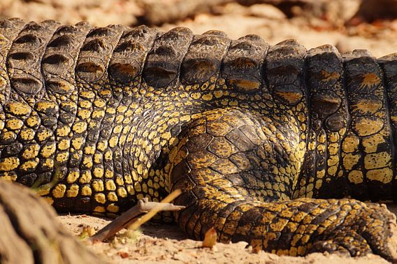 Close up krokodil