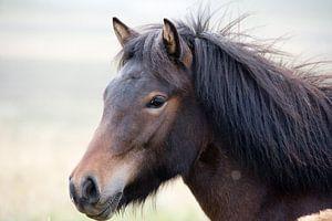 Ijslandse pony van
