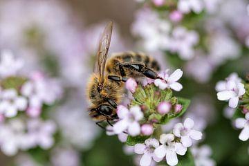 Biene auf Blume von Christophe Fruyt