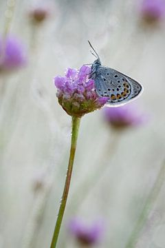 Heideblauwtje op engels gras van