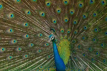 Wilde Pauw in Minnerya Nationaal Park Sri Lanka van Lex van Doorn