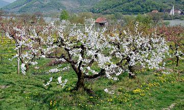 Kirschbaum von Leopold Brix