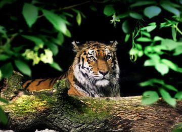 Sibirischer Tiger : Safaripark Beekse Bergen von Loek Lobel