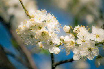 Witte Bloesem tegen blauwe lucht von Marjan Kooistra