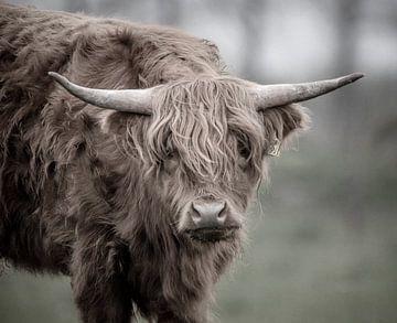 Schotse Hooglander nieuwschierig van natascha verbij