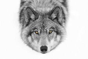 Gelbe Augen - Timber Wolf, Jim Cumming
