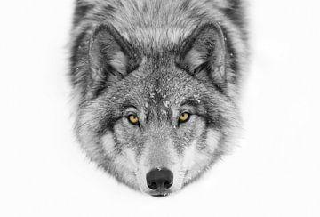 Gelbe Augen - Timber Wolf, Jim Cumming von 1x