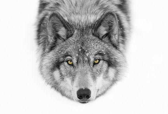Gele ogen - Wolf van het hout, Jim Cumming