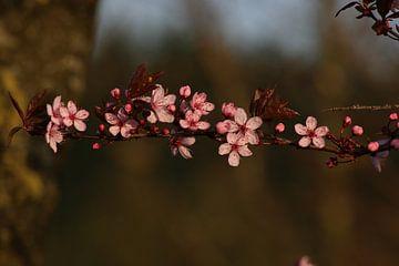 fruitbloesem, bloesem van Wilma Meurs