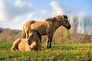 Konikpaarden in de zon van