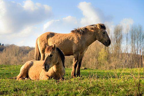 Konikpaarden in de zon van Dennis van de Water