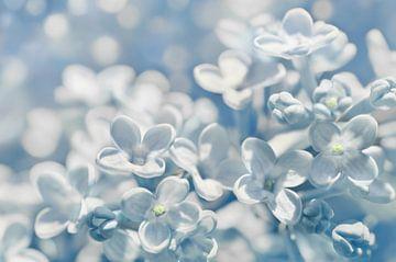 Lilac sur
