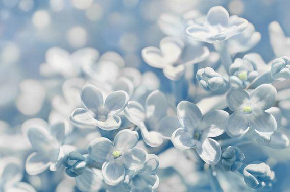 Lilac van Violetta Honkisz