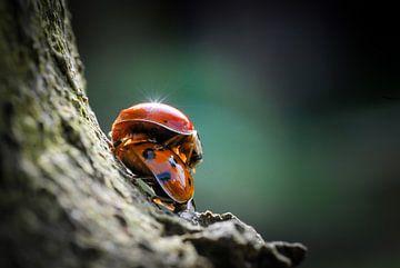 Lieveheersbeestje Liefde van Ronnie Reul