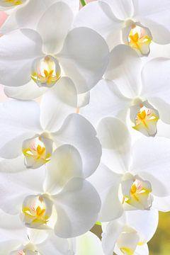 Witte orchideeën van Jan Brons