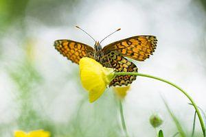 Veldparelmoervlinder van onderen
