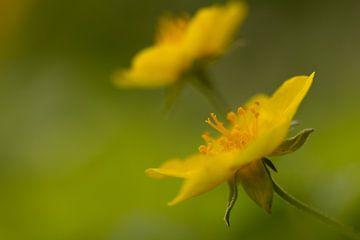 Waldsteinia geoides van Michel Vedder Photography