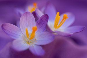 Bloeiende paarse krokussen van Annika Westgeest Photography