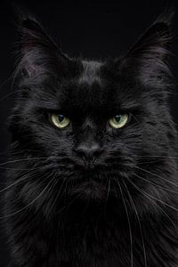 Nahaufnahme des Kopfes einer schwarzen Maine Coon Katze Schwarzer Panther von Nikki IJsendoorn