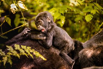 LP 71322142 Baby berggorilla met moeder in Bwindi