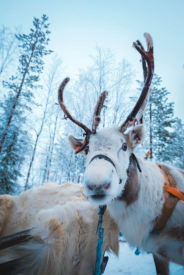 Rendier in Lapland