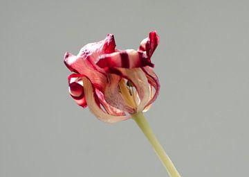 Old tulip von Je Lo