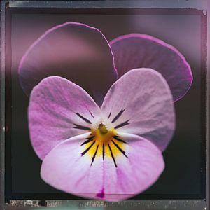 Retro lila violett von Johannes Schotanus