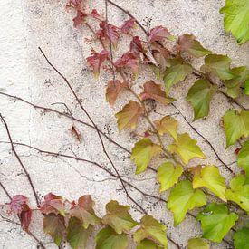 Weinrebe, die an einer verwitterten Mauer emporwächst. von Christa Stroo fotografie