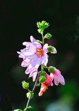 Lavatera in diverse stadia van bloei von