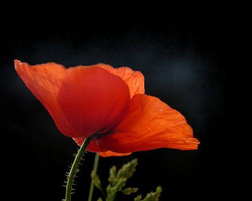 Coquelicot rouge van Ruxandra Proksch