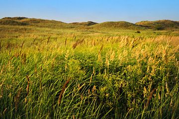 L'herbe fleurie dans la dune.