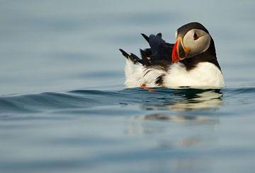 Papageientaucher beim Schwimmen auf See von Beschermingswerk voor aan uw muur