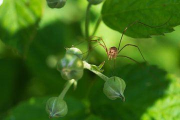 spinnetje von eric brouwer