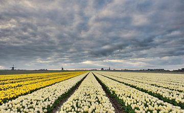 Bloembollen velden nabij Schermerhorn