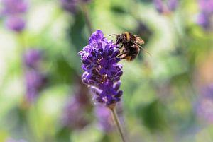 Lavendel met bezoek