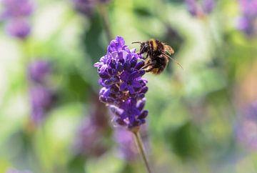 Lavendel mit Besuch von Alex Hiemstra