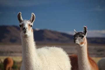 Lamas auf dem Altiplano in Bolivien vor blauem Himmel von A. Hendriks