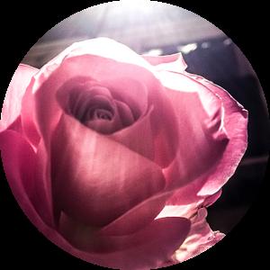 Roos in spotlicht van Elisabeth De Potter