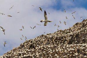 Vliegende Jan-van-gent boven de kolonie