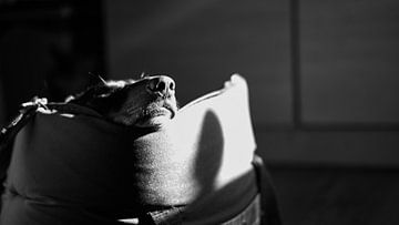 Rastender Dackelhund von Tim Briers