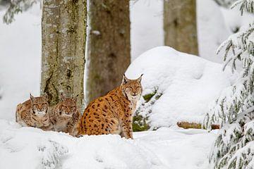 Luchsfamilie im Winter von Dirk Rüter