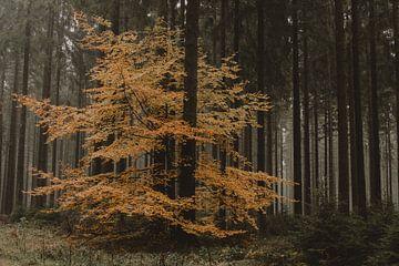 Herfstboom in dennenbos van Paulien van der Werf