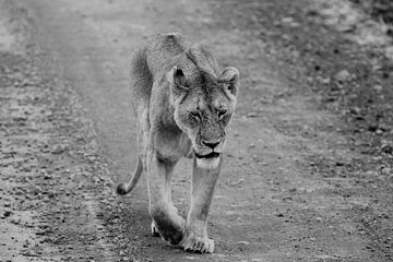 The careless lioness van Nelleke de Weerd