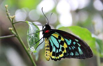 Vogelvlinder van Wilma Overwijn
