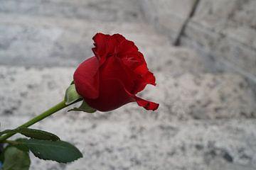 Rode roos- close up van Anouk Noordhuizen