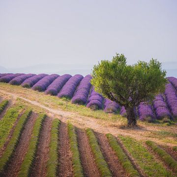 Lavendelvallei van Gerrit Anema